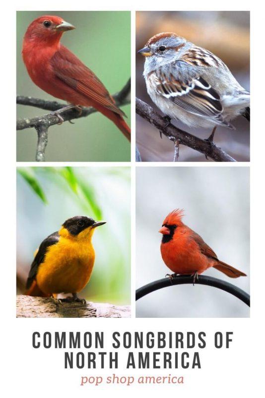 common-songbirds-of-north-america-pop-shop-america