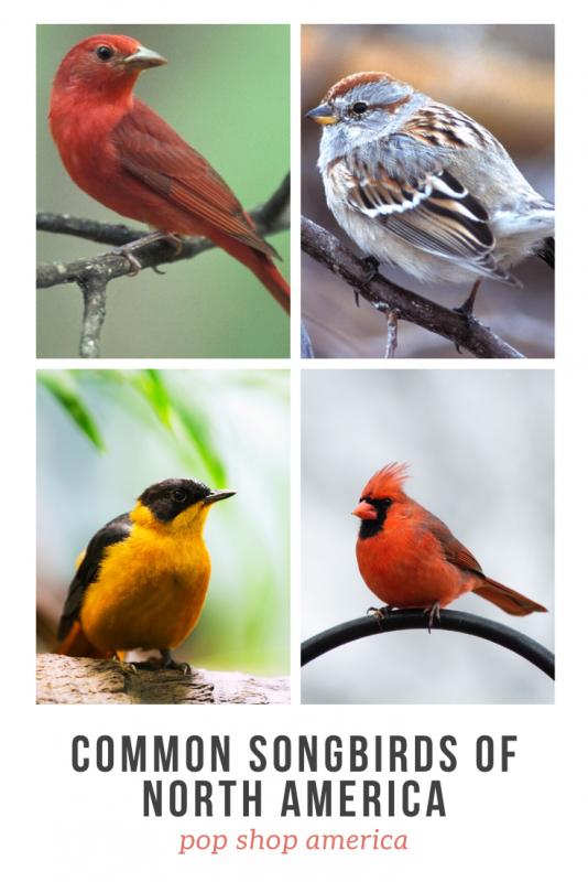 common songbirds of north america pop shop america