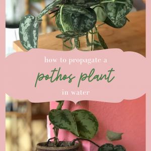 how to propagate a pothos plant