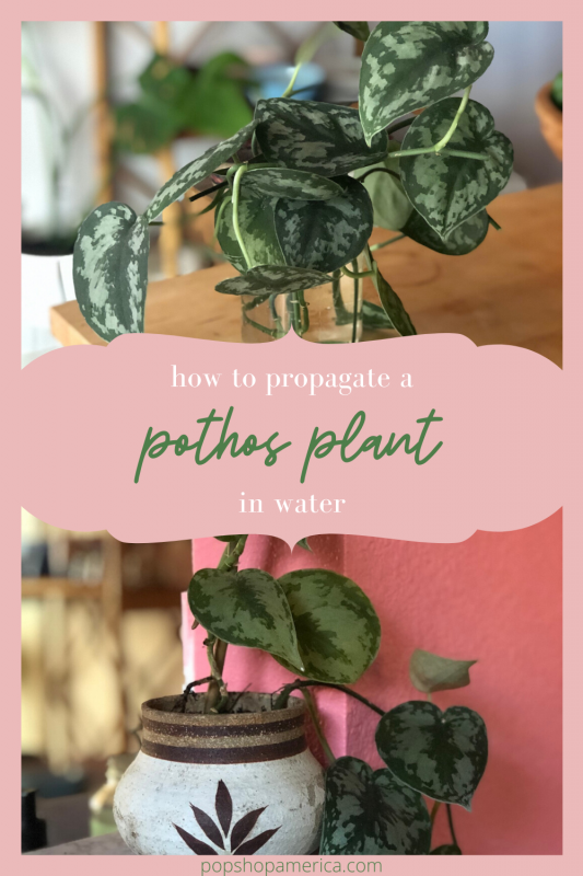 how to propagate a pothos plant