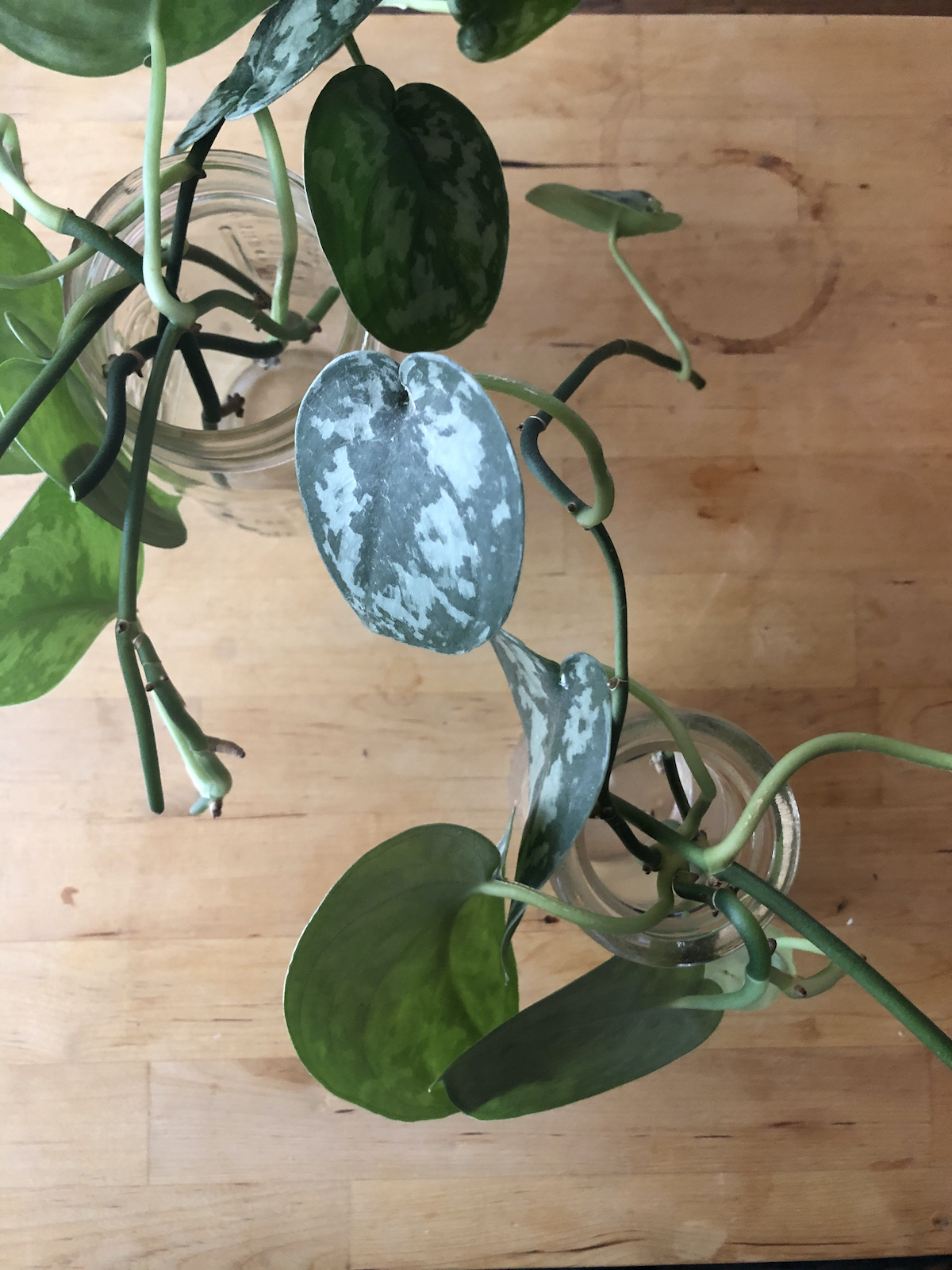 plant-propagation-cuttings-in-jars