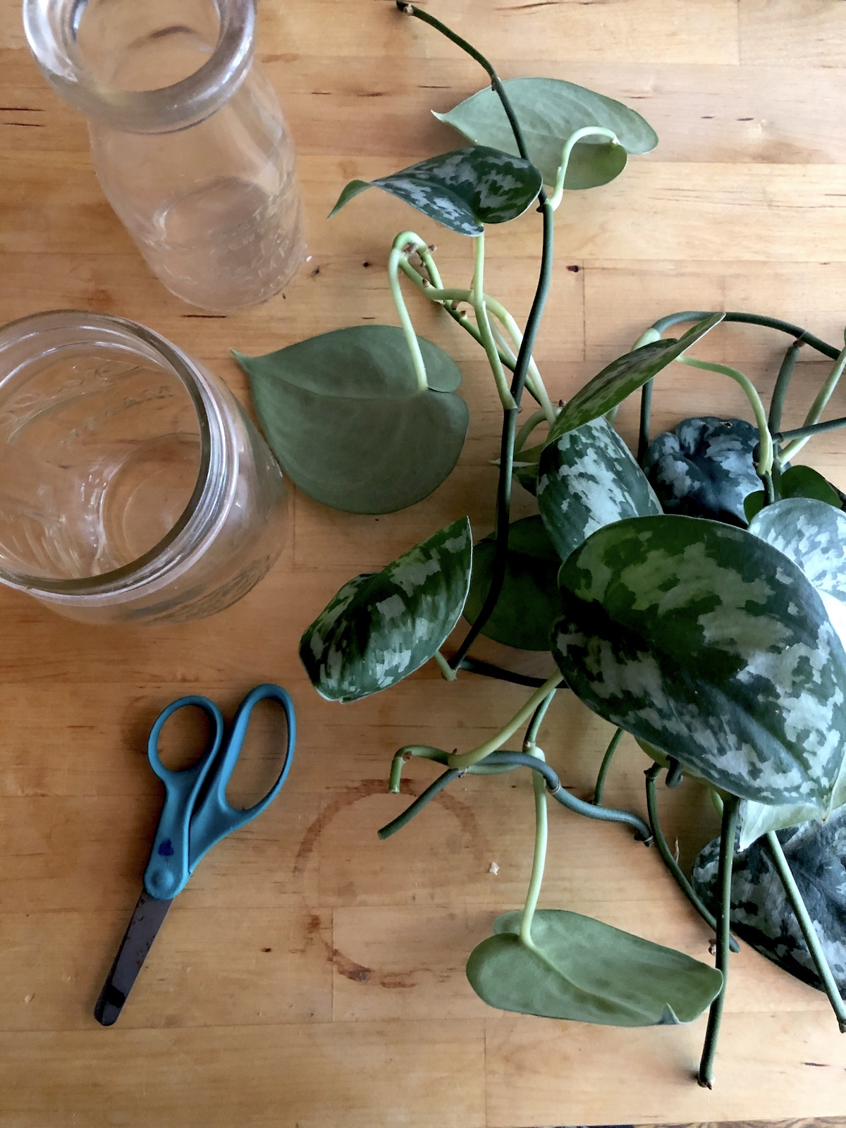 plant-propagation-glass-jars-leaf-cuttings-and-supplies