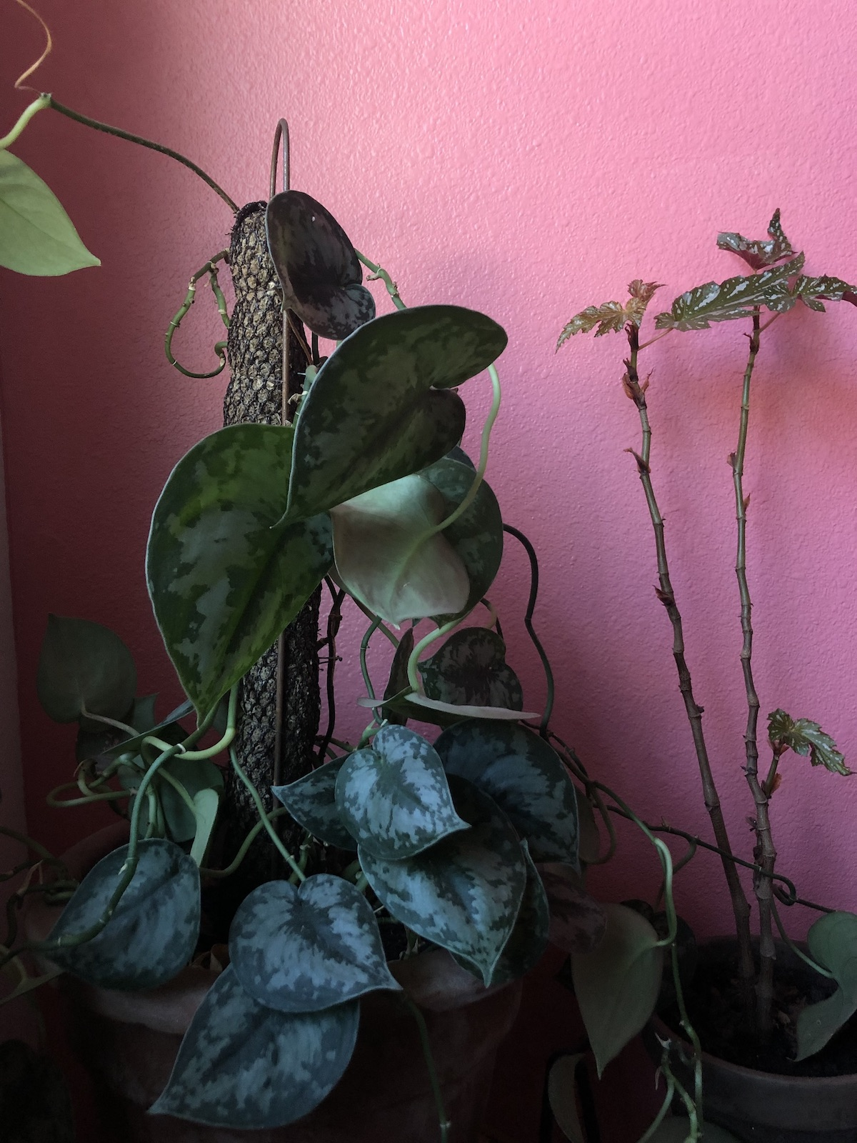 plant-propagation-silver-queen-pothos-mother-plant