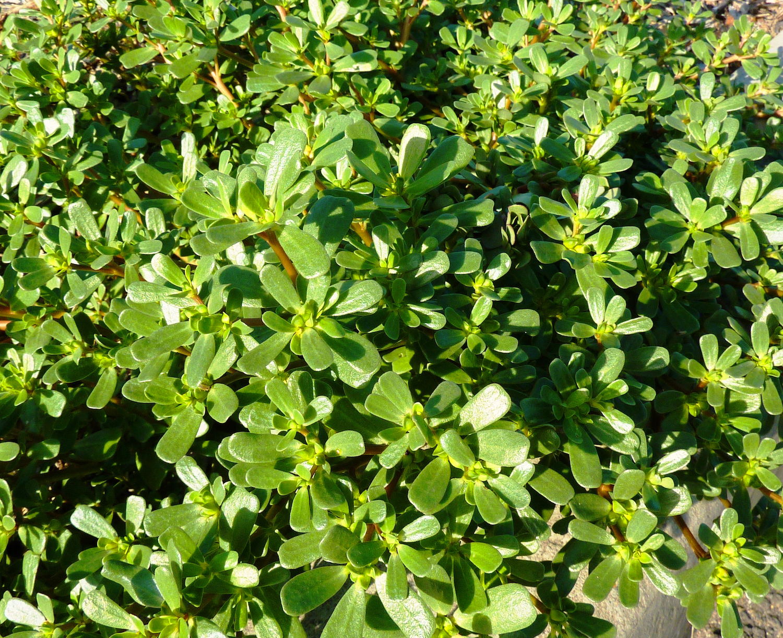 Foraging Purslane Succulent Summer Herb Concrete Garden Bed Forage Field