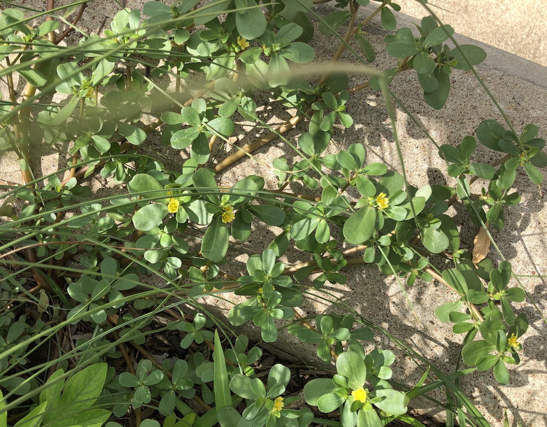 Foraging Purslane Succulent Summer Herb Concrete Garden Bed Forage