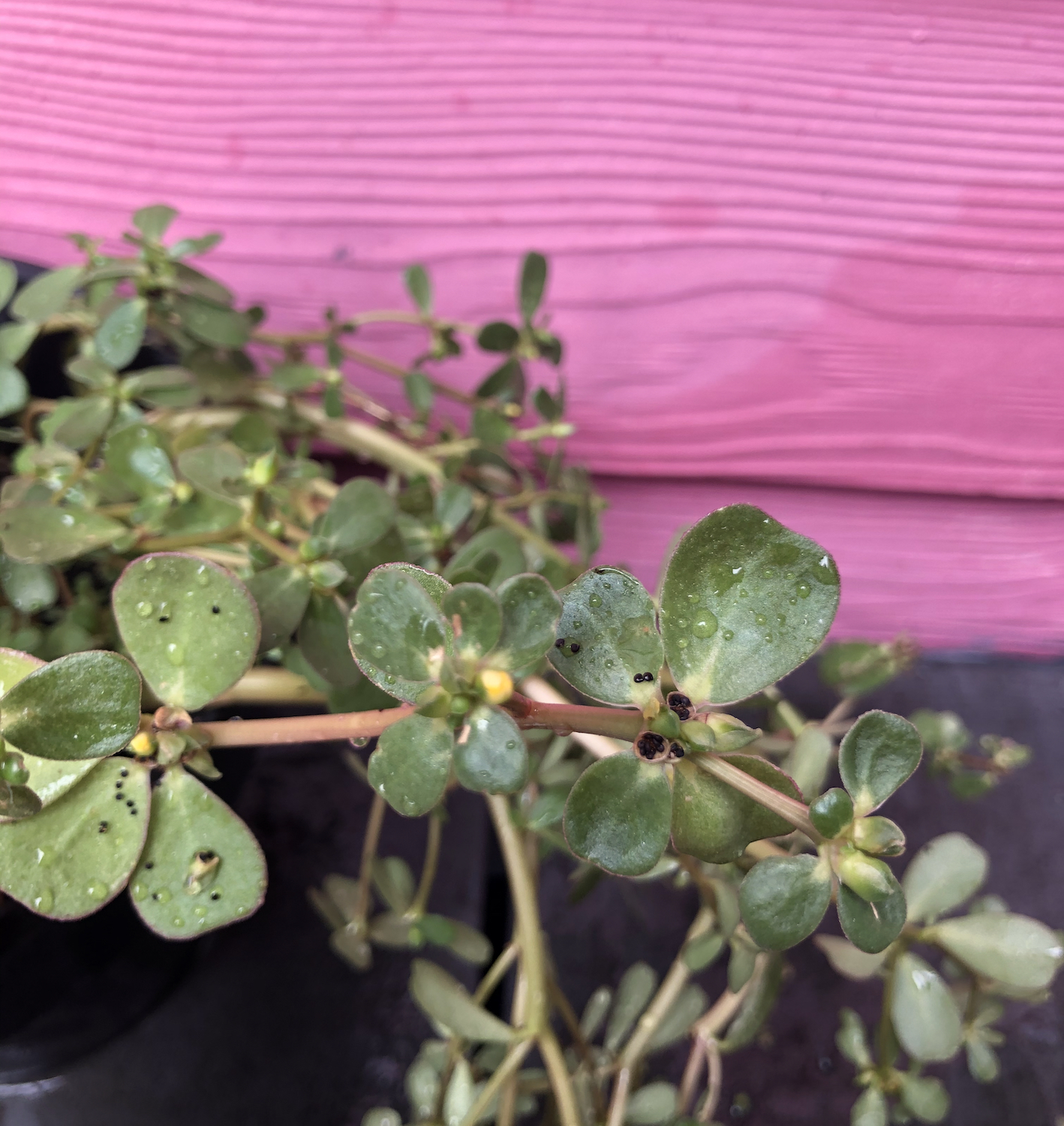 Foraging Purslane Succulent Summer Herb Container Plant Seeds
