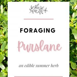 Foraging Purslane edible summer herb