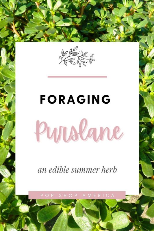 Foraging Purslane edible summer herb