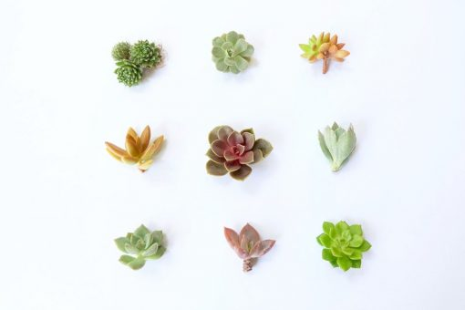 small succulent cuttings pack live plants