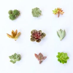 small-succulent-cuttings-pack-live-plants_square