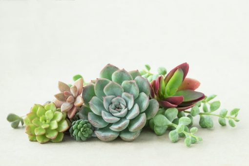 small succulents cuttings
