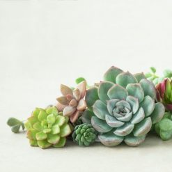 small-succulents-cuttings_square