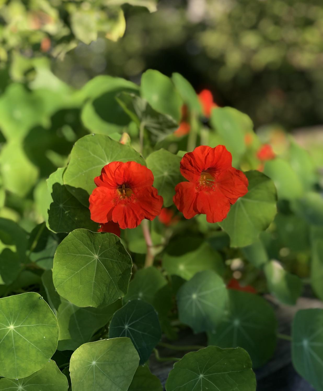 nasturtium greens and blooms growing in raised bed vegetable garden