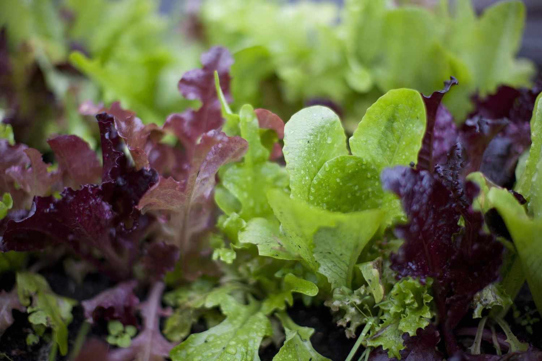 Crisp lettuce greens raised bed winter garden