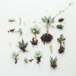 live-succulents-with-roots_square