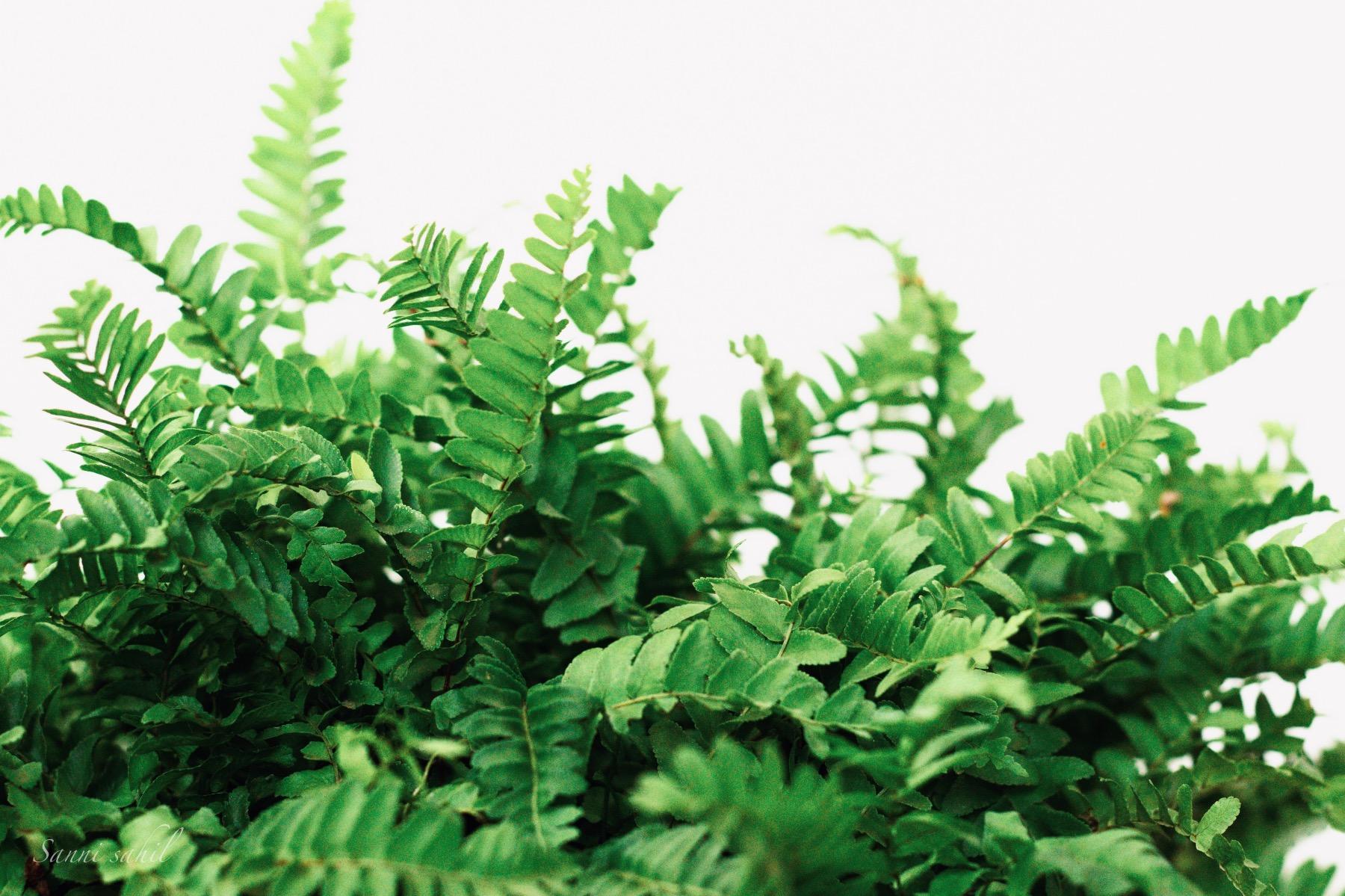 fern plants care guide gardening tutorial pop shop america