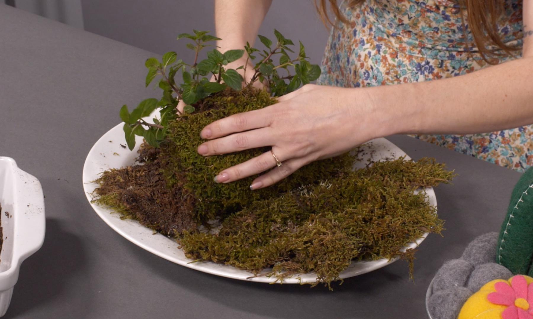 kokedama gardening tutorial wrap the reindeer moss around the plant